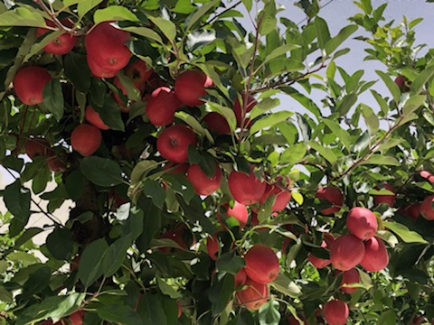 In season from February: Royal Gala Apples
