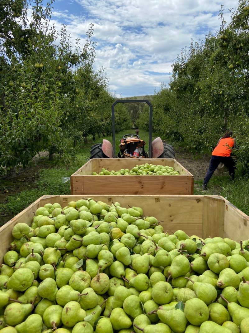Packham Pears, Red Rich Fruits